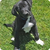 Labrador Retriever Mix Dog for adoption in tucson, Arizona - Chuck
