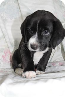 Australian Shepherd/Beagle Mix Puppy for adoption in Southington, Connecticut - Emmalee (has been adopted)