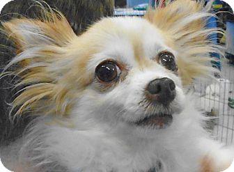 Chihuahua Dog for adoption in St Louis, Missouri - Honeybear
