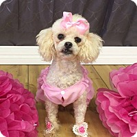 Poodle (Miniature) Dog for adoption in Shreveport, Louisiana - Bubbles