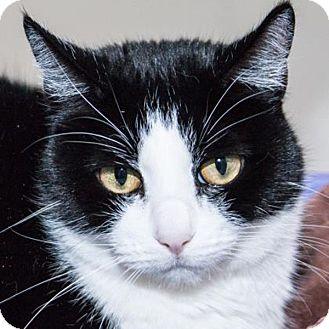 Domestic Shorthair Cat for adoption in Prescott, Arizona - Catsy Cline