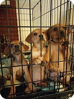 Boxer/Shepherd (Unknown Type) Mix Puppy for adoption in Danbury, Connecticut - Joe