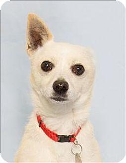 Chihuahua Mix Dog for adoption in San Luis Obispo, California - Oso