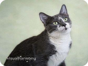 Domestic Shorthair Cat for adoption in Phoenix, Arizona - Adele
