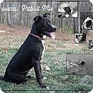 Adopt A Pet :: PARVARTI (Pronounced Poverty)