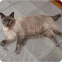 Siamese Cat for adoption in Rochester, Michigan - Tipper Blue SN