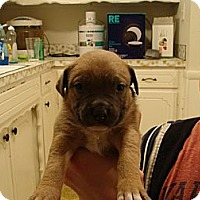 Adopt A Pet :: Un-named Puppy - Owasso, OK