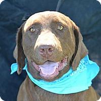 Adopt A Pet :: Sawyer - Plano, TX