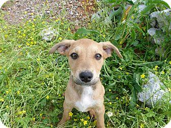 Centurylink Net Login >> Labrador Retriever Mix Puppy for adoption in Cottonport, Louisiana - Faline