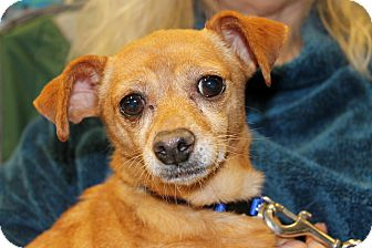Chihuahua/Terrier (Unknown Type, Small) Mix Dog for adoption in Inglewood, California - Chanel