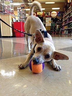Chihuahua/Beagle Mix Dog for adoption in Lafayette, California - Orson