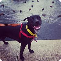 Adopt A Pet :: Amidala - Winchester, VA