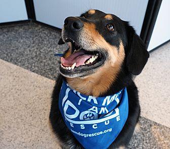 Labrador Retriever/Border Collie Mix Dog for adoption in Cross Roads, Texas - Snickers