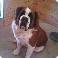 Adopt A Pet :: BOB - Sparks, NV