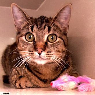 Domestic Shorthair Cat for adoption in Key Largo, Florida - Jasmine
