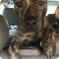 Adopt A Pet :: Phoenix - Seahurst, WA