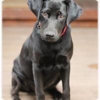 Adopt A Pet :: Paris - Broomfield, CO