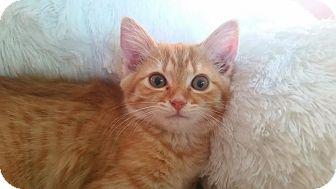Domestic Shorthair Kitten for adoption in Middletown, Ohio - Jasper