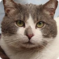 Domestic Mediumhair Cat for adoption in Savannah, Missouri - Dexter