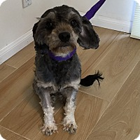 Adopt A Pet :: Skyler - Redondo Beach, CA