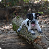 Adopt A Pet :: Rafa - Groton, MA
