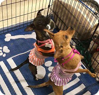 Italian Greyhound/Chihuahua Mix Dog for adoption in Phoenix, Arizona - Cammy