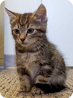 Domestic Shorthair Kitten for adoption in Bethesda, Maryland - Libra