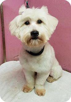 Bichon Frise/Westie, West Highland White Terrier Mix Dog for adoption in Hillside, Illinois - Alondra