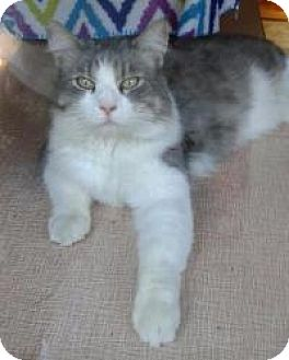 Norwegian Forest Cat Cat for adoption in San Carlos, California - Max
