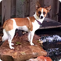 Papillon/Jack Russell Terrier Mix Dog for adoption in Woodstock, Ontario - Tessa