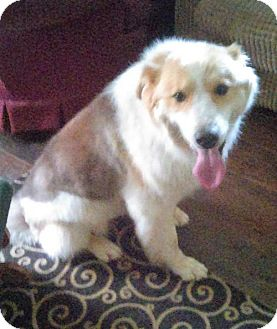 Collie Mix Dog for adoption in Sunbury, Ohio - Pancake