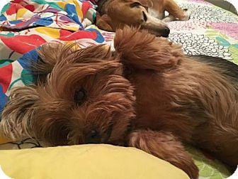 Silky Terrier/Yorkie, Yorkshire Terrier Mix Dog for adoption in West Palm Beach, Florida - Karmin