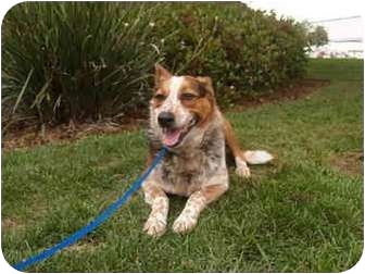 Australian Cattle Dog Dog for adoption in El Cajon, California - Sugar
