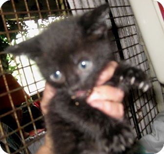 Ragdoll Kitten for adoption in Dallas, Texas - Licorice
