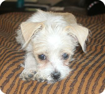 Terrier (Unknown Type, Small)/Jack Russell Terrier Mix Puppy for adoption in Bellflower, California - Baylee-I do not shed!