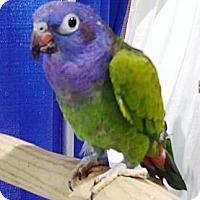 Adopt A Pet :: Maya - Shawnee Mission, KS