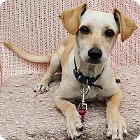 Adopt A Pet :: Moxi - Redondo Beach, CA