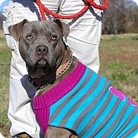 Adopt A Pet :: Bonnie Blue - Glastonbury, CT
