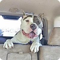 Adopt A Pet :: Pacino - Nashville, TN