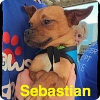 Adopt A Pet :: Sebastian - Old Saybrook, CT