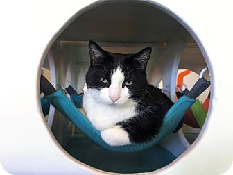 Domestic Shorthair Cat for adoption in Los Angeles, California - Tooti