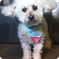 Adopt A Pet :: Midgie - McKinney, TX