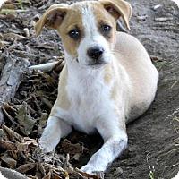 Adopt A Pet :: Houston K - Aurora, CO