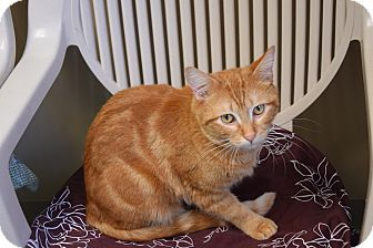 Domestic Shorthair Cat for adoption in Pottsville, Pennsylvania - Bavis