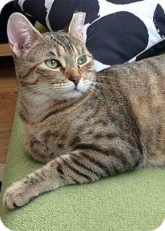 Domestic Shorthair Cat for adoption in New  York City, New York - Mocha