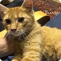 Domestic Shorthair Kitten for adoption in Sacramento, California - Marmalade