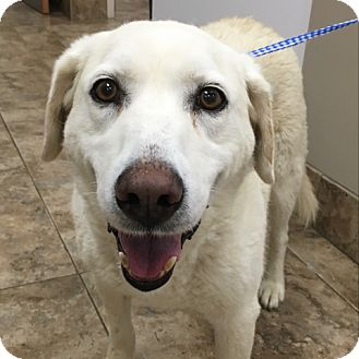 Labrador Retriever Dog for adoption in Palatine, Illinois - Angie