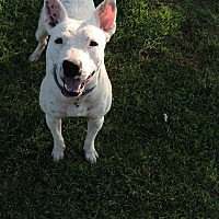 Dalmatian/Bull Terrier Mix Dog for adoption in Denver City, Texas - Buddy