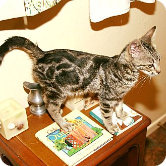 Domestic Shorthair Kitten for adoption in Rancho Cucamonga, California - Valero