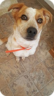 Australian Cattle Dog Mix Dog for adoption in Douglas, Wyoming - Baxter